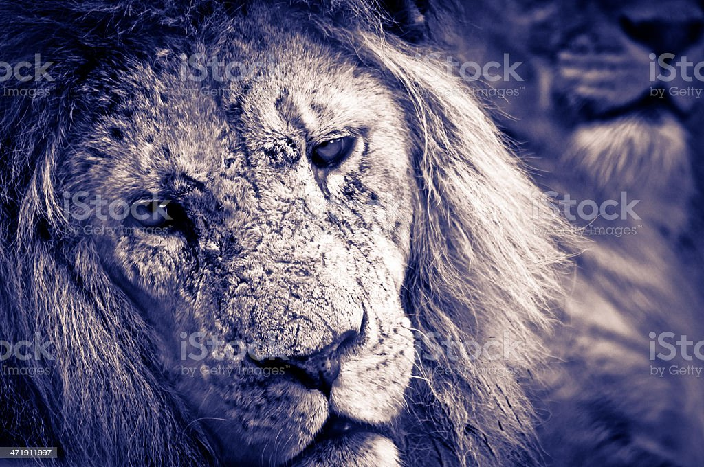 Male Lion relaxing royalty-free stock photo