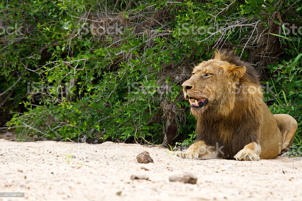 Male lion rest on river bed stock photo