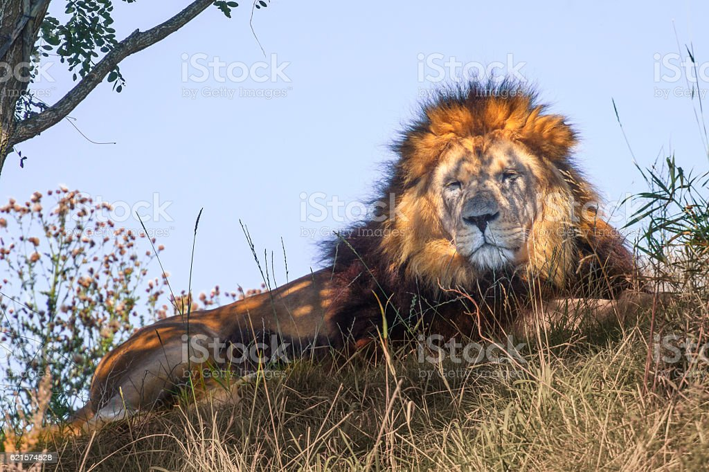 Male Lion resting on a hill in the Savanna photo libre de droits