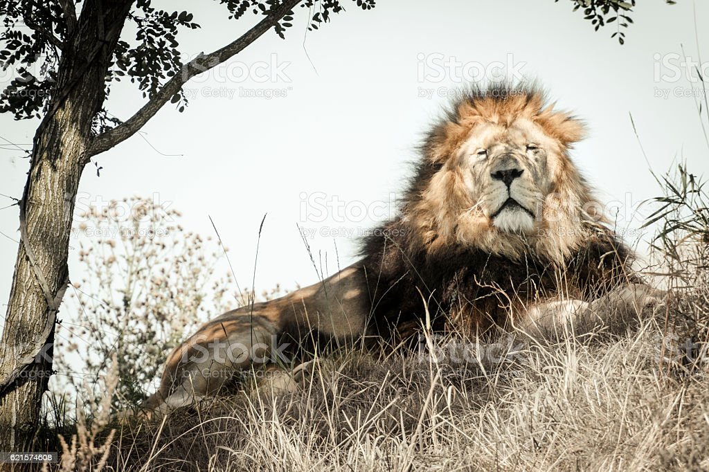Male Lion resting on a hill in the Savanna photo libre de droits