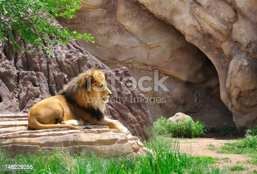 A mail lion rests at a local zoological park.