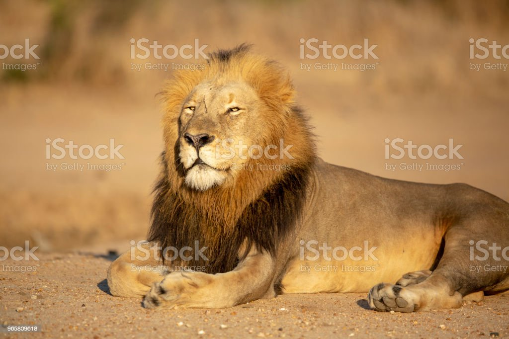 Mannetjes leeuw rust - Royalty-free Brullen Stockfoto