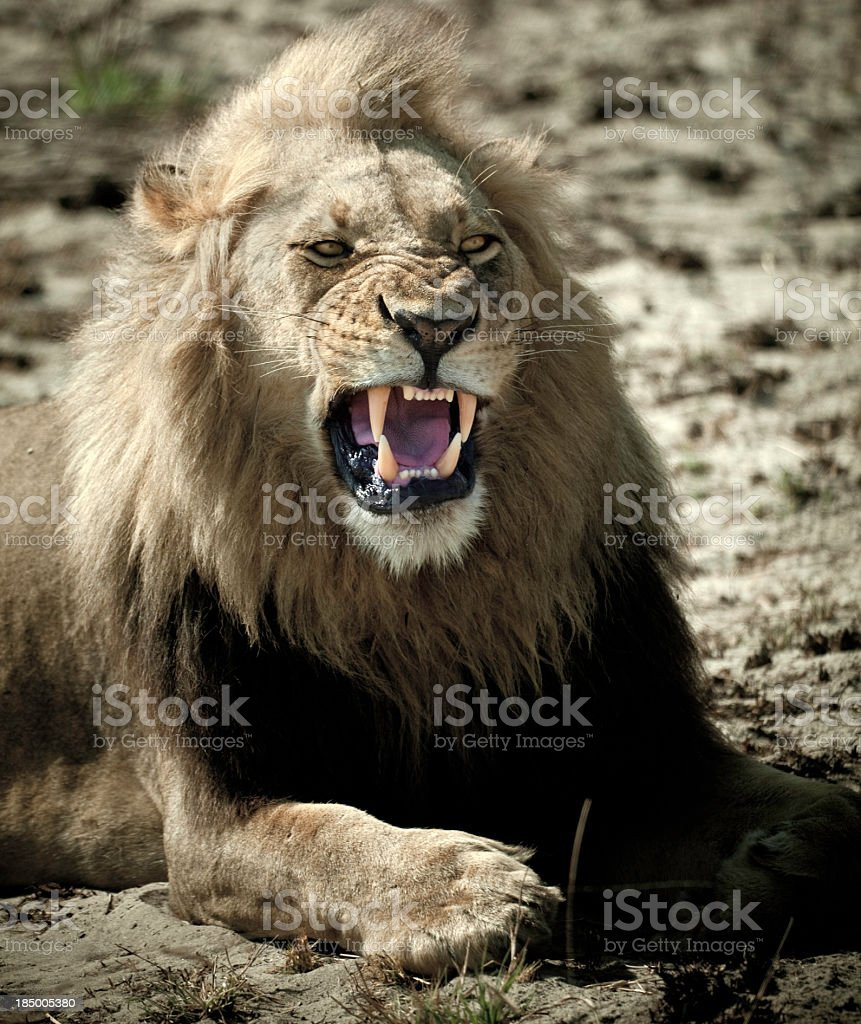 A male lion roaring in the country of Botswana royalty-free stock photo