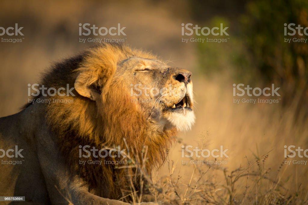 Mannetjes leeuw brullen - Royalty-free Brullen Stockfoto