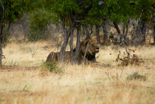 A male lion shelters from the heat. stock photo