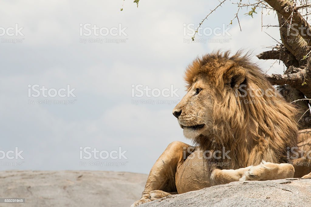 male lion sitting on a rock facing sideways stock photo more