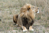 Male lion (Panthera leo) lying at his ease in Hwange National Park, Zimbabwe.