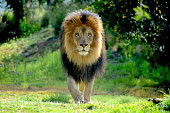 istock Male Lion staking prey 1226843930