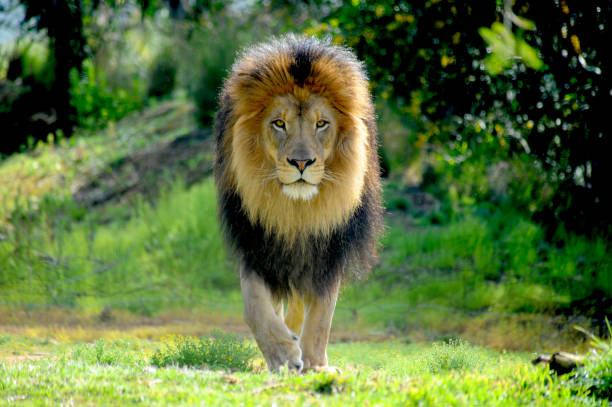 Male Lion staking prey A huge lion is walking straight towards prey as he stalks and gets ready to attack. wildlife reserve stock pictures, royalty-free photos & images