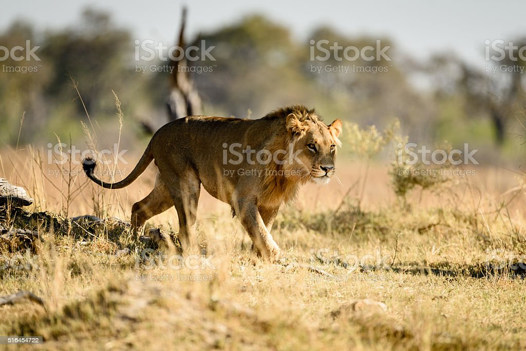 Male lion stalking stock photo