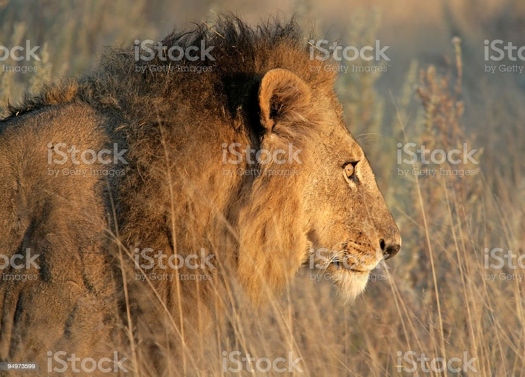 Männliche Löwe Sich anschleichen – Foto
