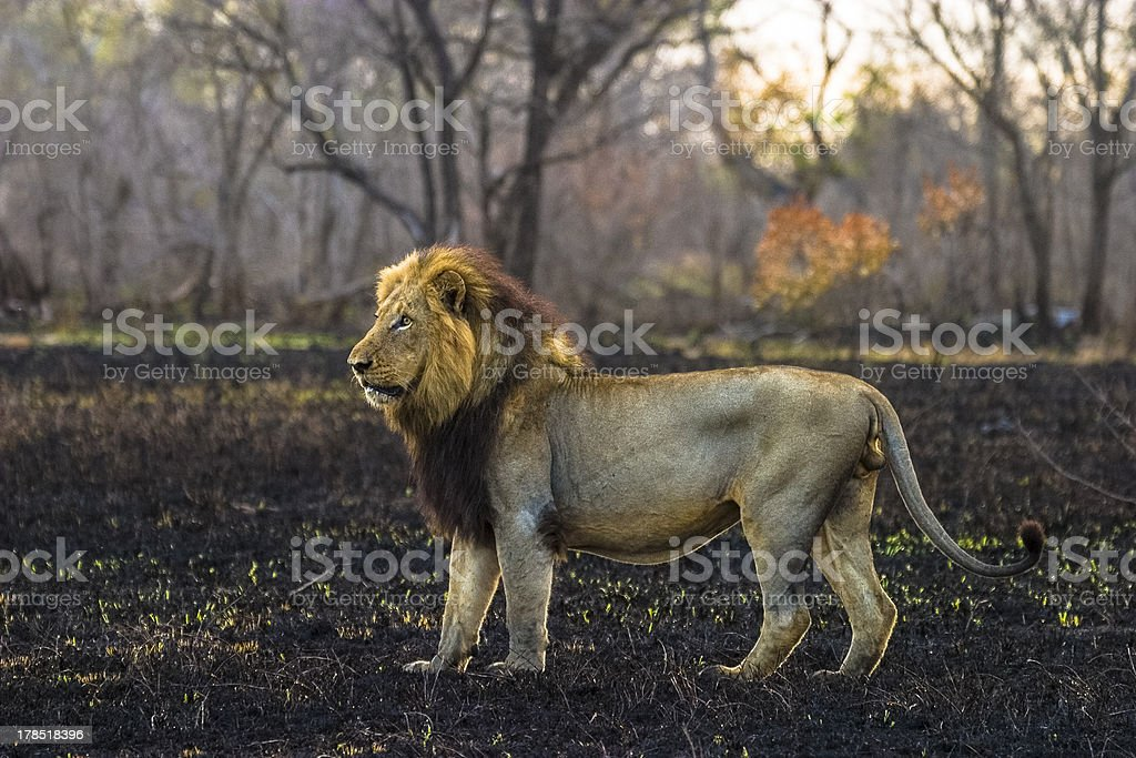 Male lion standing in a burnt field stock photo