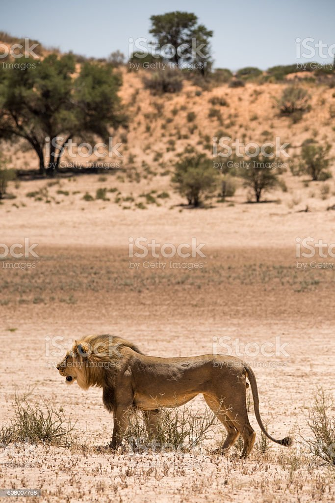 male lion standing in desert orange sand dunes behind him. stock photo
