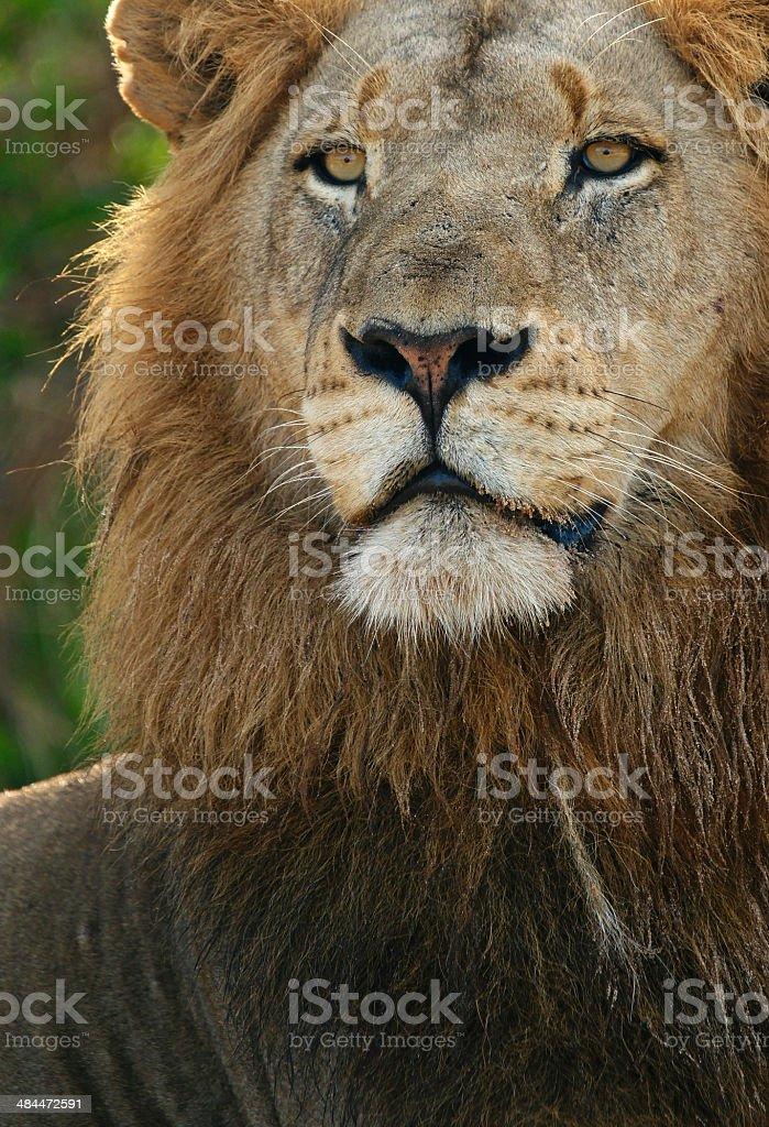 Male Lion Stare stock photo