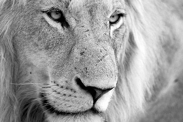Male Lion staring stock photo