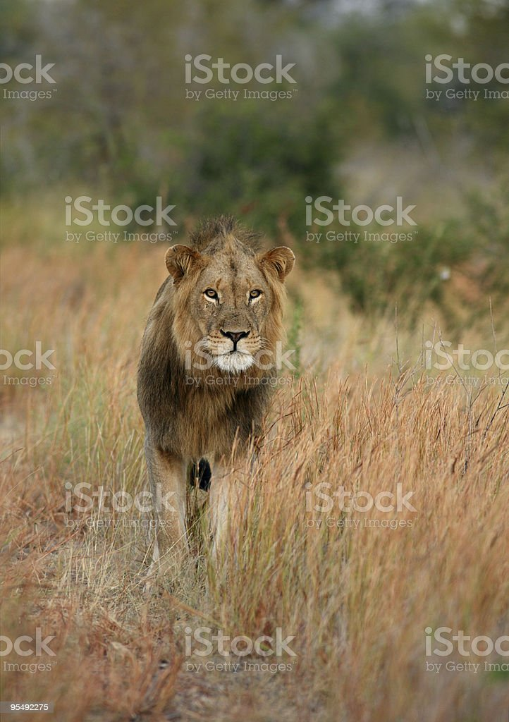 Male lion walking forwards in long winter grass. royalty-free stock photo