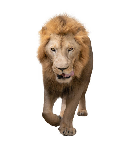 Male lion walking isolated on white background picture id1160961781?b=1&k=6&m=1160961781&s=612x612&w=0&h=tmxaxafhqwraxqqipukgon1zsonzfnggs3x0nlguxqi=