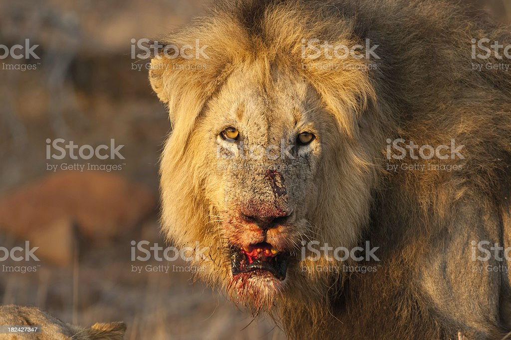 Male lion with bloody mouth staring intently into your eyes stock photo
