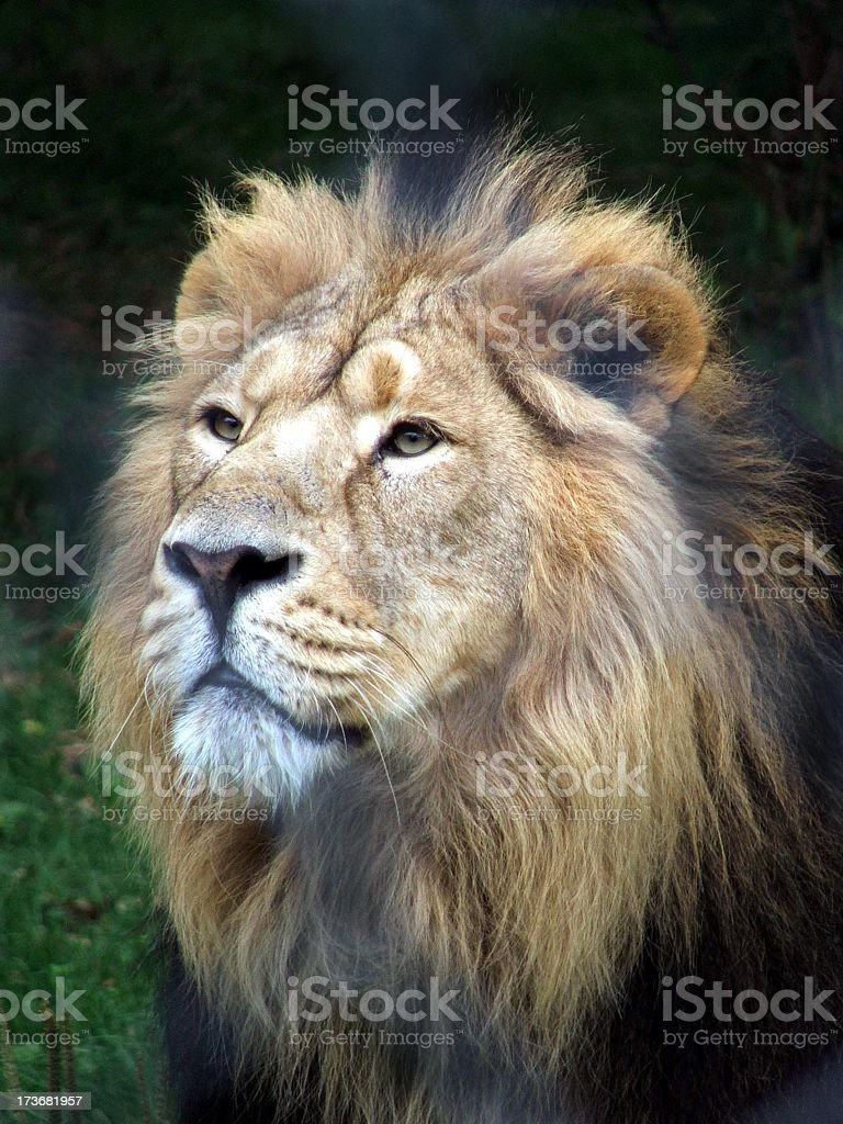 Male lion with dark mane standing on grass royalty-free stock photo