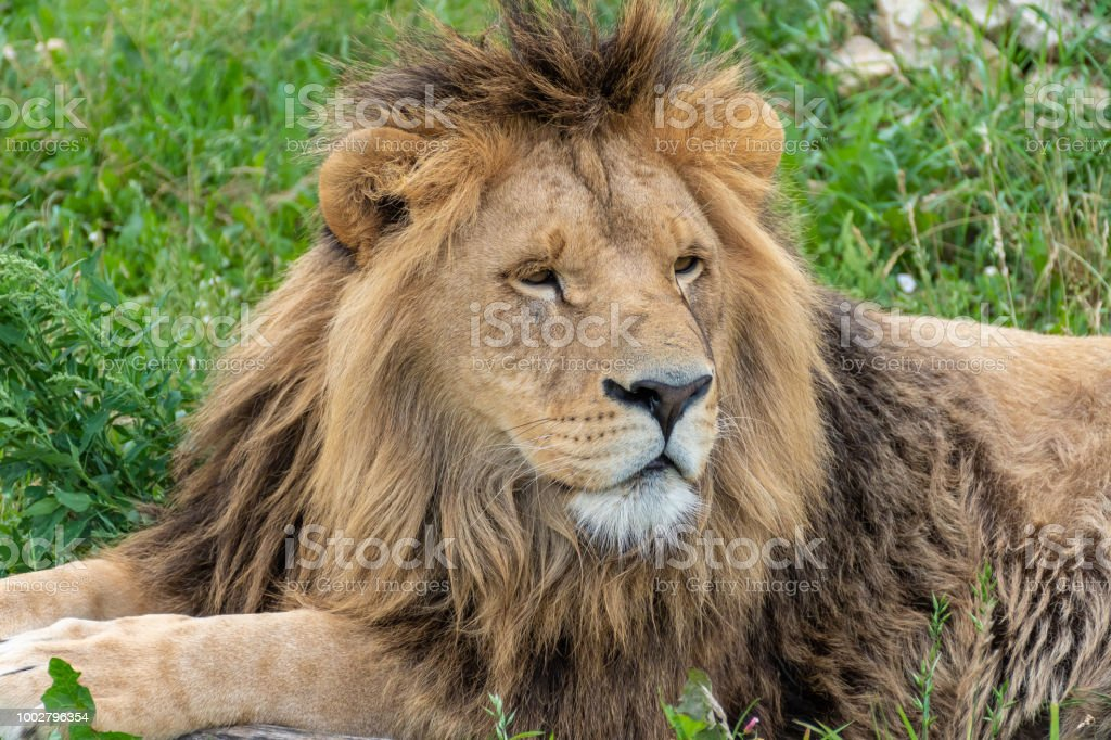 Male lion with magnificent mane stock photo