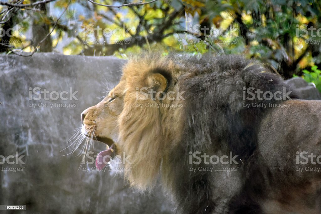 Male Lion yawning stock photo