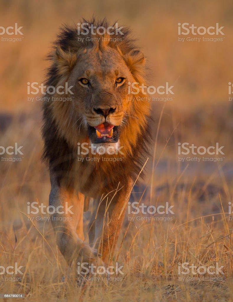León macho bostezar - foto de stock
