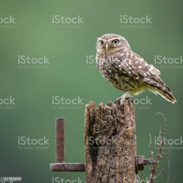 Male little owl picture id1017320202?b=1&k=6&m=1017320202&s=612x612&h=1cmwqkrrt pmose xirnp2d2voy9v6nqil 76h9n 4c=
