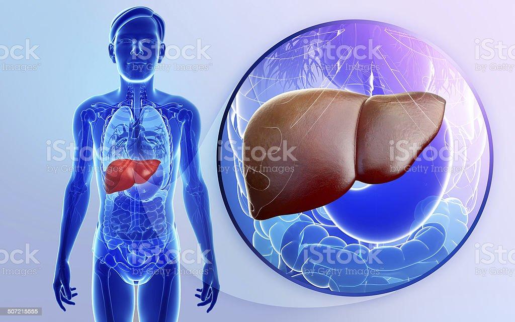 Anatomía De Hígado De Sexo Masculino - Fotografía de stock y más ...