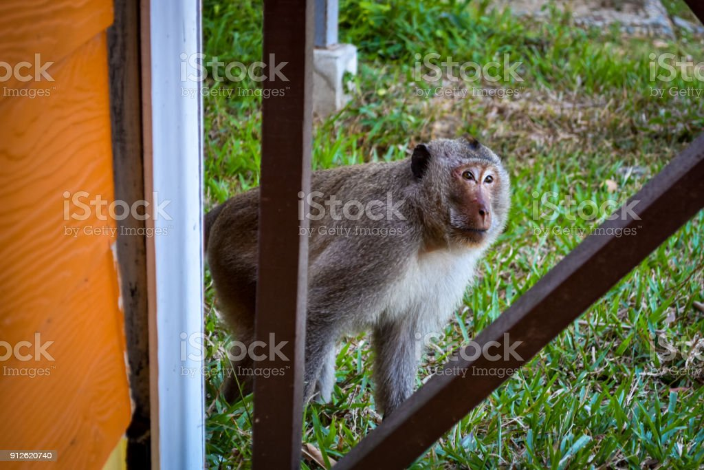 male longtail macaque monkey visiting stock photo
