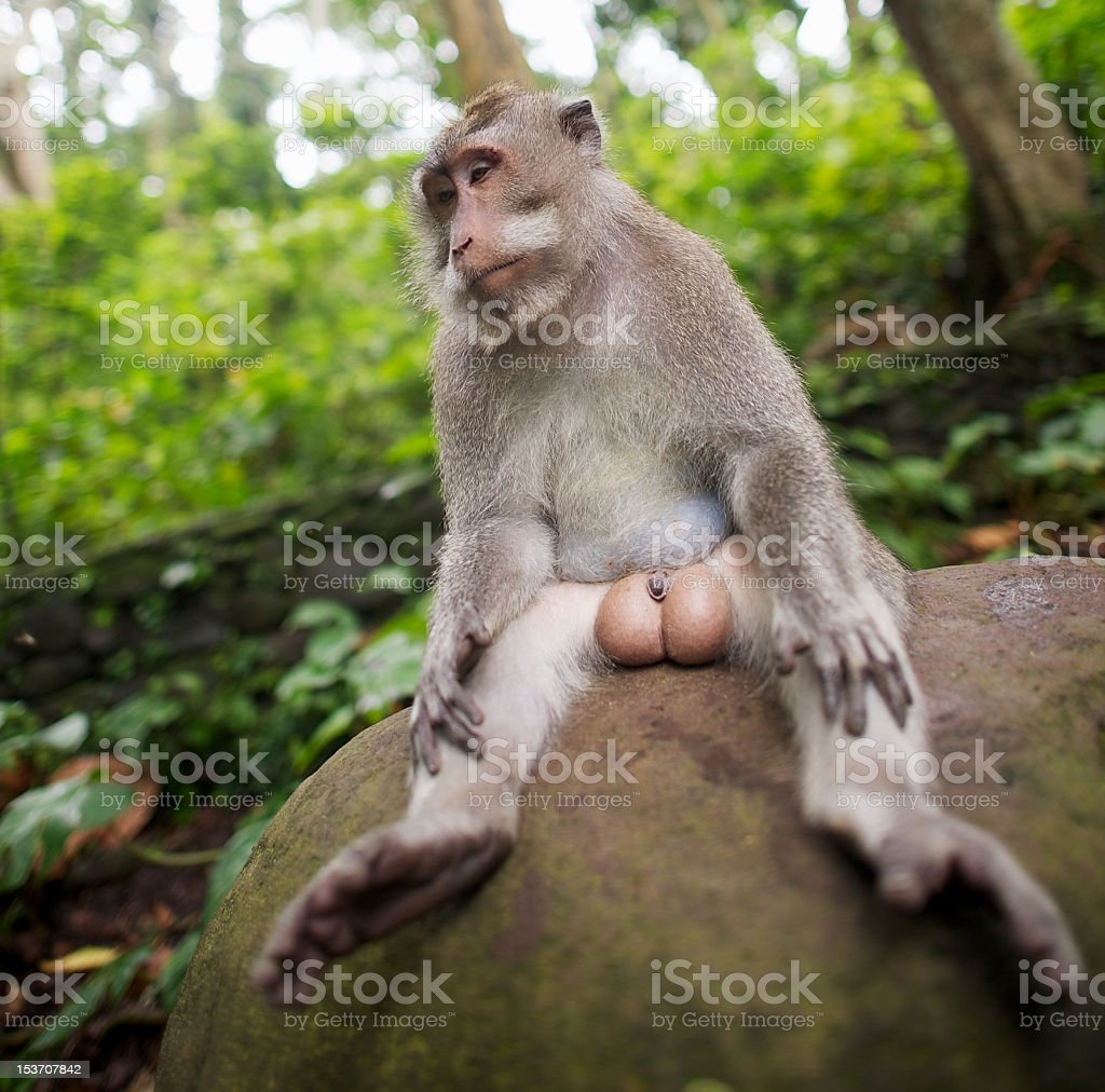 Male long-tailed macaque, Ubud, Bali, Indonesia stock photo