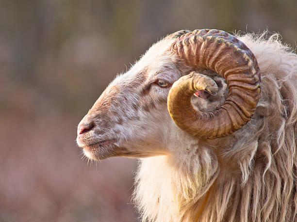Mâle mouton à longue queue - Photo