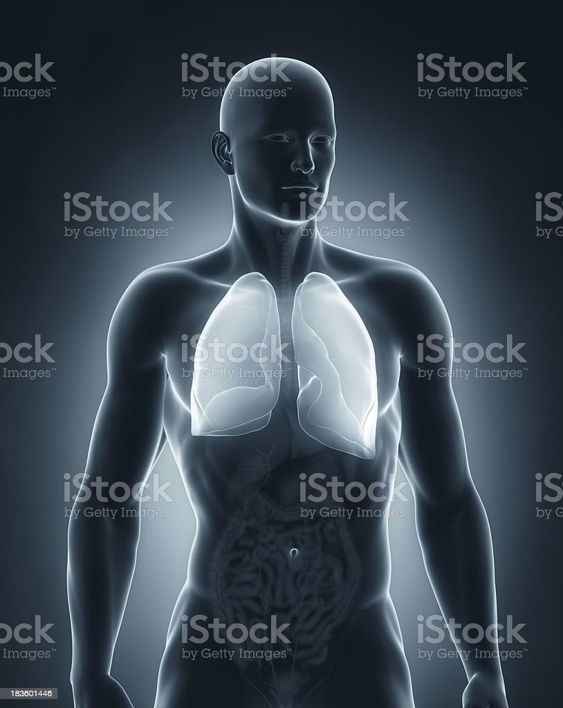 Male lungs anatomy anterior view stock photo