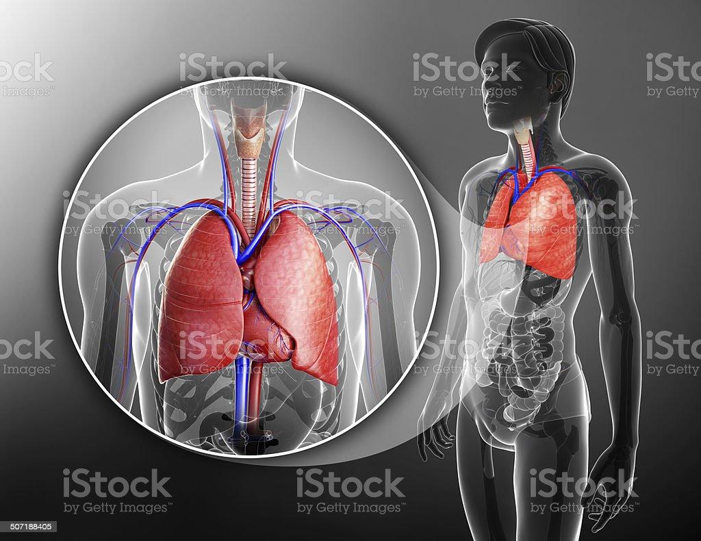 Macho Pulmones Anatomía - Stock Foto e Imagen de Stock | iStock