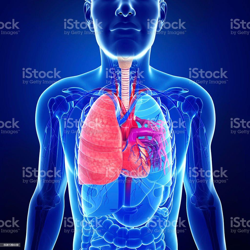 Macho Pulmones Anatomía Stock Foto e Imagen de Stock 508139449 | iStock