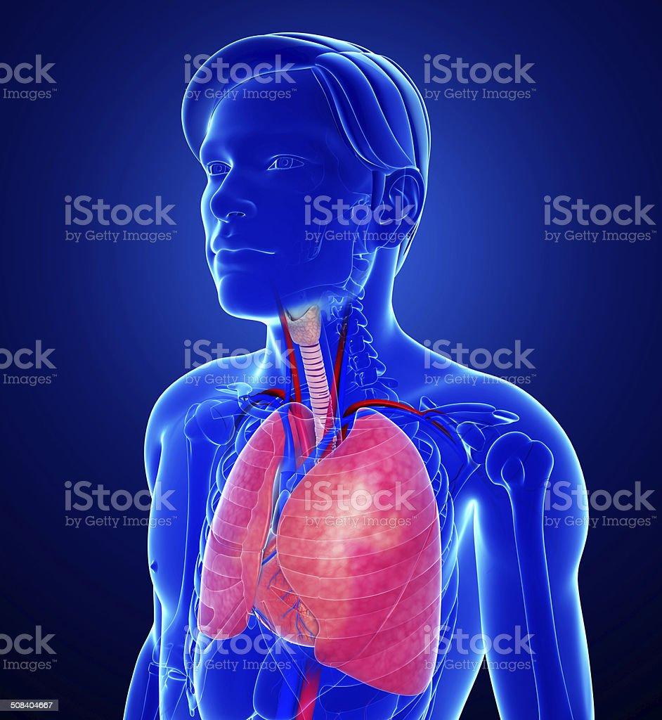 Ausgezeichnet Lungenanatomie Ppt Bilder - Menschliche Anatomie ...