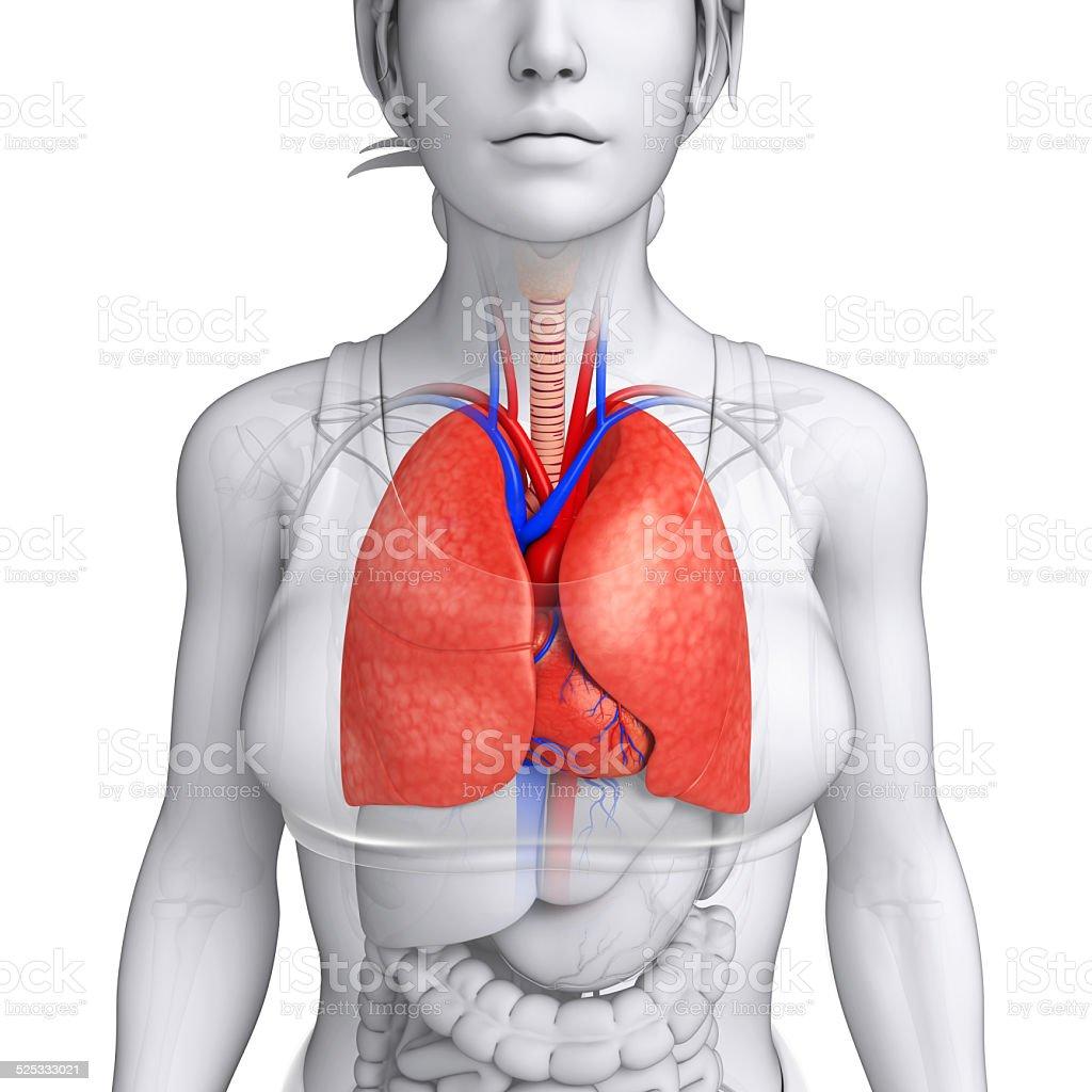 Fotografía de Macho Pulmones Anatomía y más banco de imágenes de ...