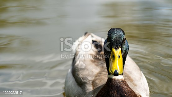 Shot of a Mallard (male) swimming on the Grand Union Canal in Warwickshire