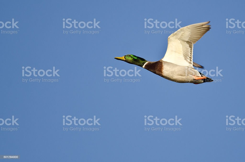Male Mallard Duck Flying In A Blue Sky Stock Photo More Pictures