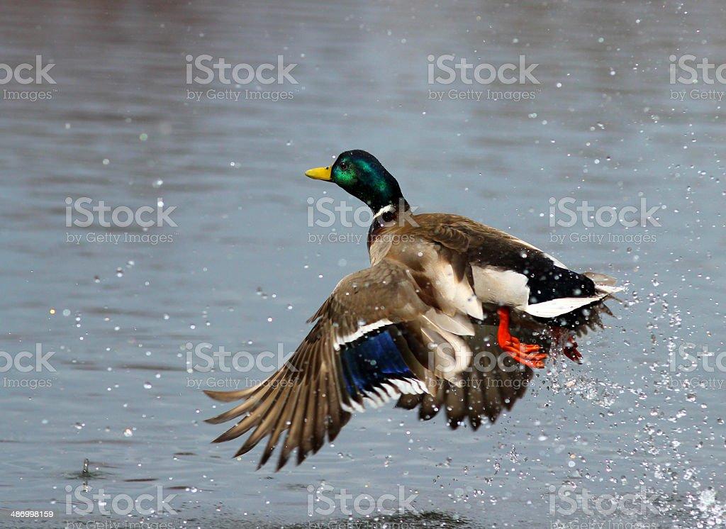 Male Mallard Duck in Flight royalty-free stock photo
