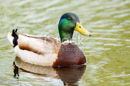 Mallard (Anas platyrhynchos) male swimming in a pond. Great Meadows National Wildlife Refuge, Massachusetts