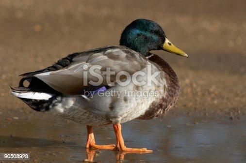istock Male Mallard duck. 90508928