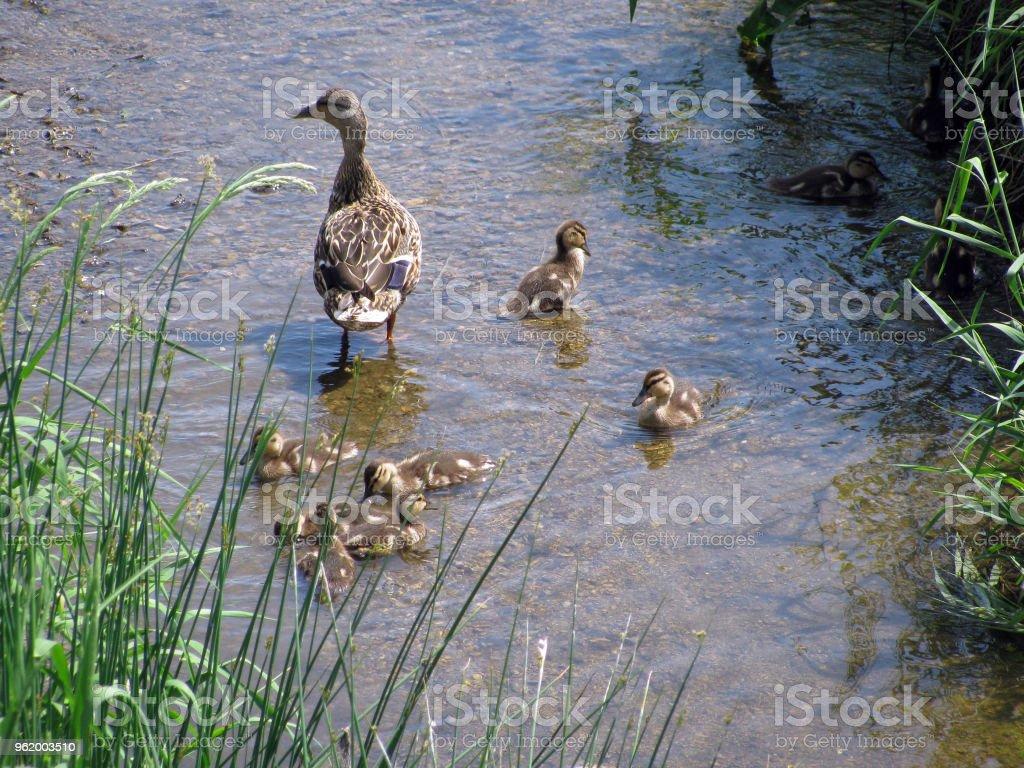 Male Mallard Ducks on Sandbar stock photo