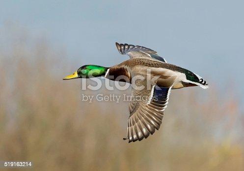 istock male mallard in flight 519163214