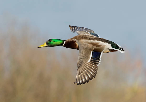 male mallard in flight male mallard in flight drake male duck stock pictures, royalty-free photos & images