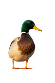Male mallard, anas platyrhynchos, standing from front view in vertical composition isolated on white. Full body of colorful duck looking into camera outdoors at sunset cut out on blank.