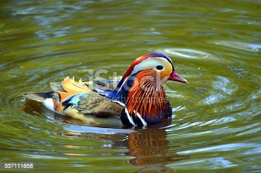 istock Male mandarin duck Latin name Aix galericulata 537111658