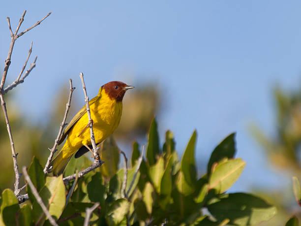 male mangrove warbler, isla san jose, mexico - setophaga stockfoto's en -beelden