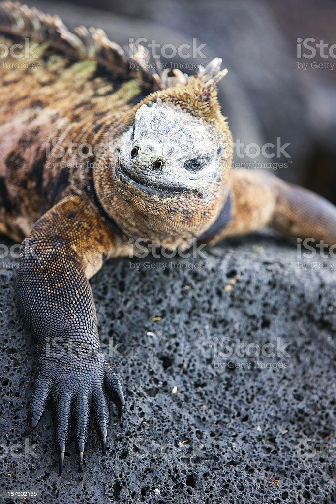 Male marine iguana stock photo