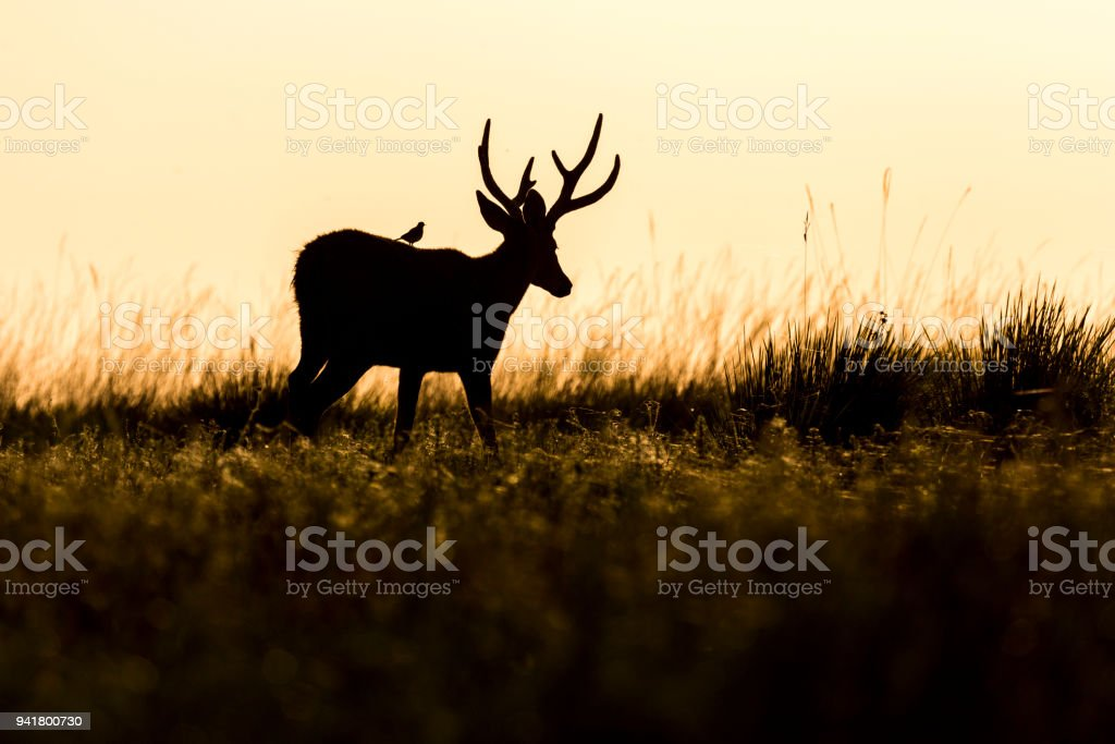 Male Marsh Deer (Blastocerus dichotomus) stock photo