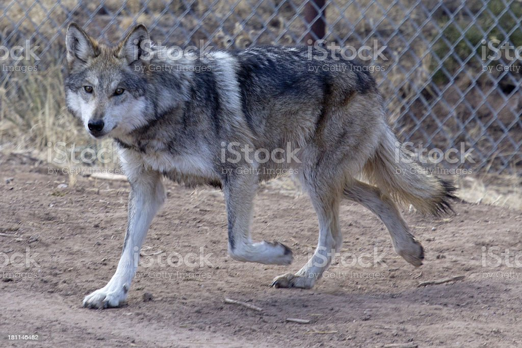 Male Mexican Gray Wolf stock photo